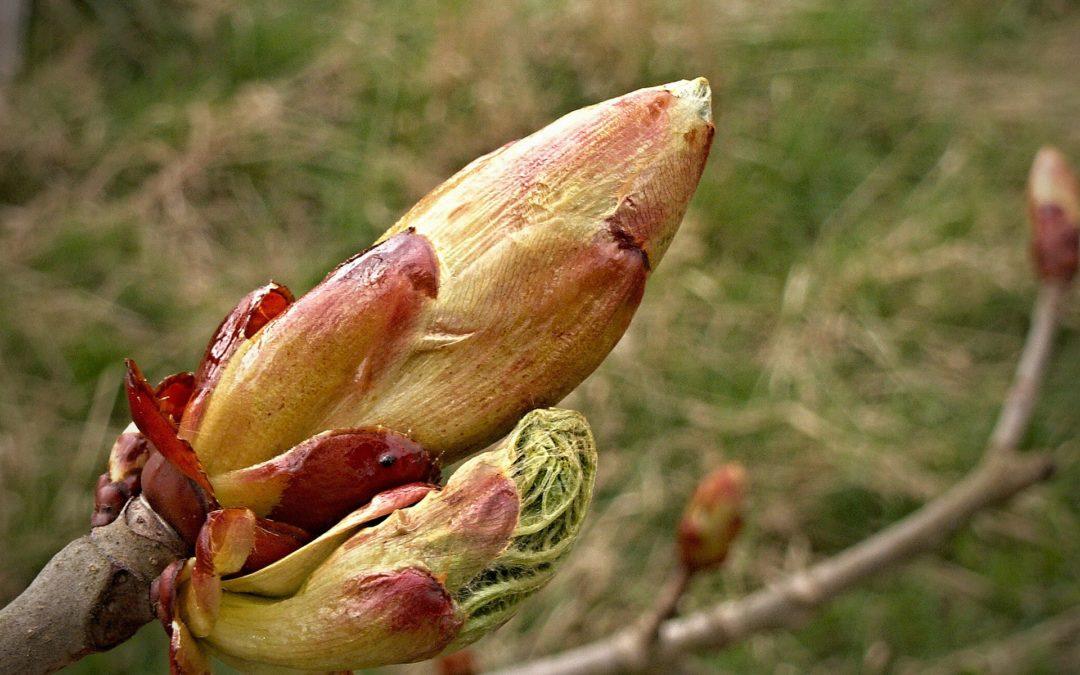 Fiori di Bach: Chestnut Bud