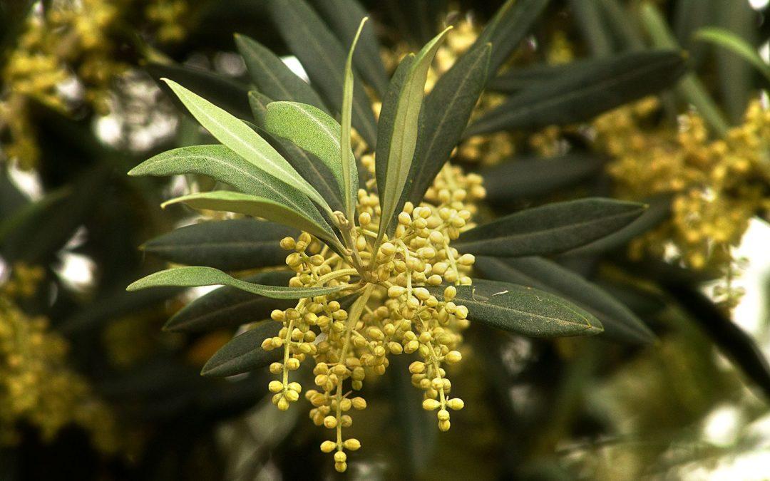 Fiori di Bach: Olive