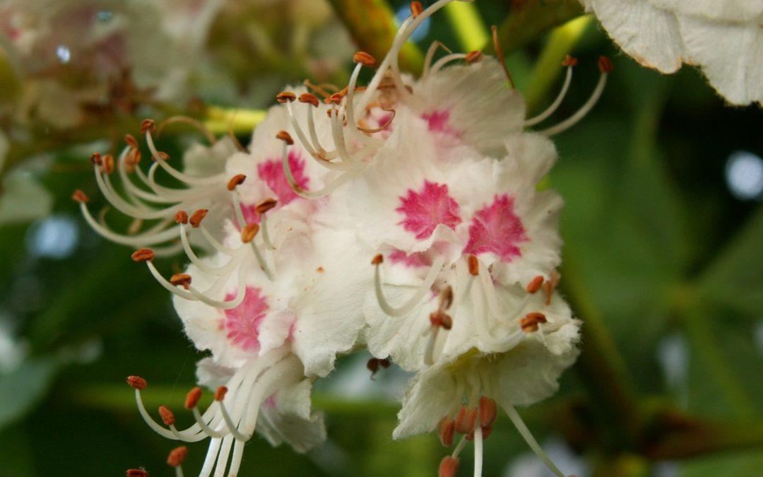 Fiori di Bach: White Chestnut