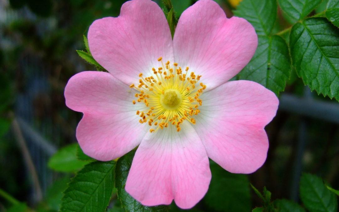 Fiori di Bach: Wild Rose