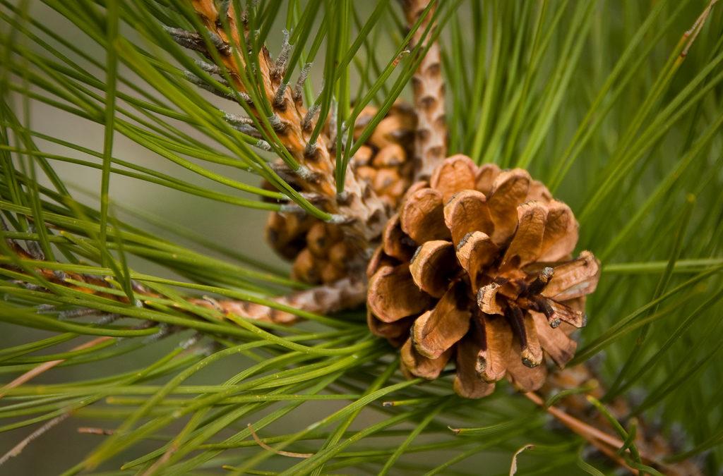 Fiori di Bach: Pine