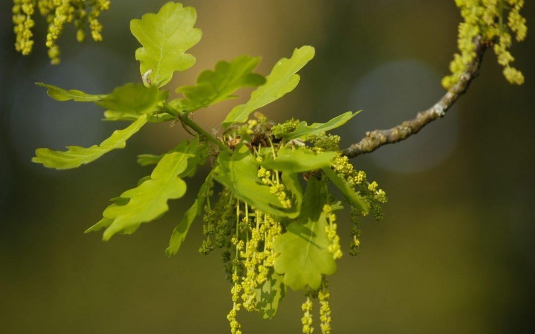 Fiori di Bach: Oak